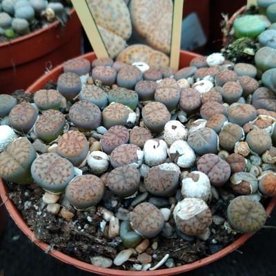 Levende steentjes (Lithops spp.)