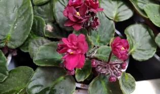 Kaaps viooltje (Streptocarpus ionanthus)