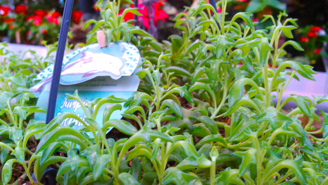 Dolfijnenplantje (Curio × peregrinus)