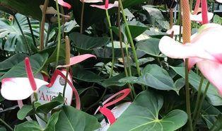 Lakanthurium (Anthurium andraeanum)