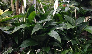Lepelplant (Spathiphyllum spp.)