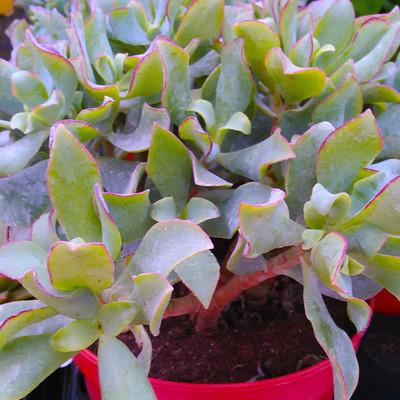 Jadeplant (Crassula ovata)