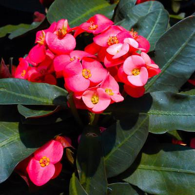 Christusdoorn (Euphorbia milii)