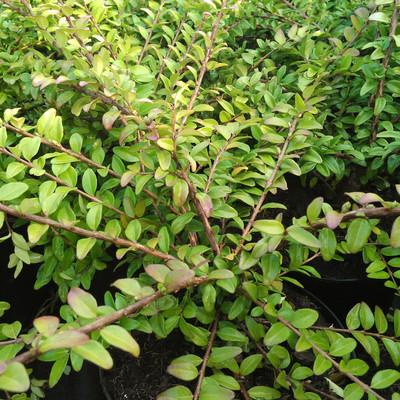 Buxuskamperfoelie (Lonicera nitida)