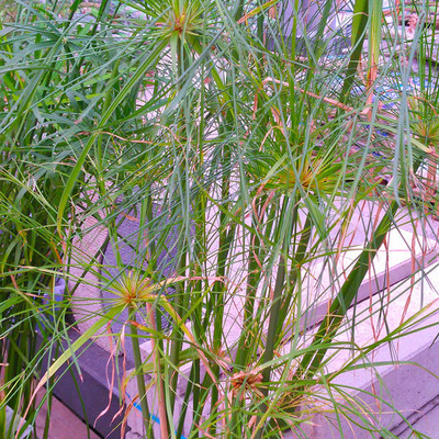 Papyrusriet (Cyperus papyrus)