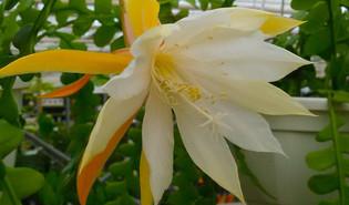 Zaagtandcactus (Disocactus anguliger)