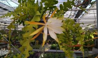Zaagcactus (Disocactus anguliger)