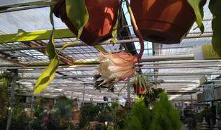 Koningin van de nacht (Epiphyllum oxypetalum)