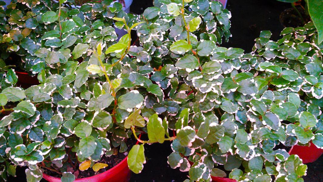 Kruipende vijg (Ficus pumila)