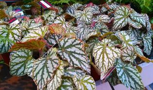 Bladbegonia (Begonia rex)