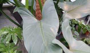 Zilveren zwaard (Philodendron hastatum)