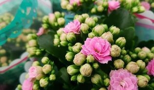 Kalanchoë (Kalanchoe blossfeldiana)