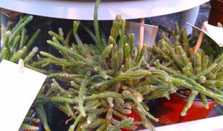 Koraalcactus (Rhipsalis baccifera)