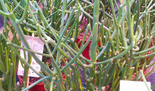 Potloodplant (Euphorbia tirucalli)