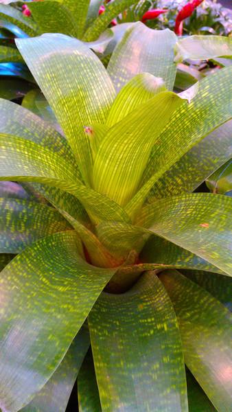 Vriesea spp.