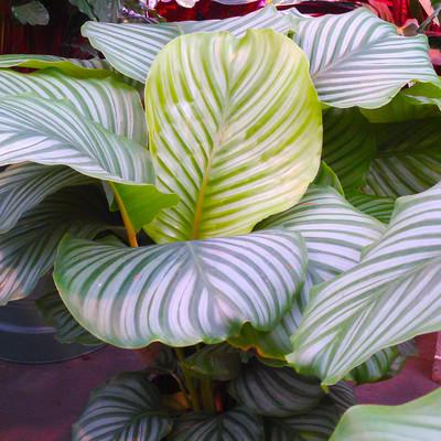 Rondbladige calathea (Goeppertia orbifolia)