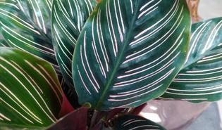 Pauwenplant (Goeppertia ornata)