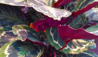 Goeppertia roseopicta