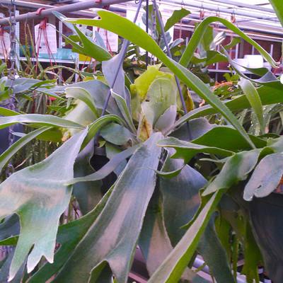 Hertshoornvaren (Platycerium)
