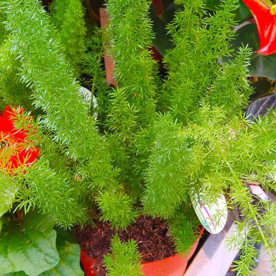 Hangasperge (Asparagus densiflorus)