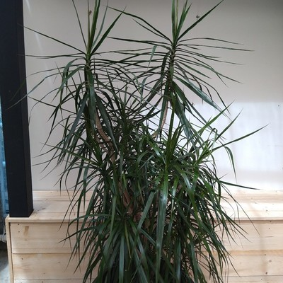 Dracaena reflexa var. angustifolia