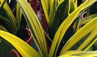 Vrouwentongen (Dracaena trifasciata)