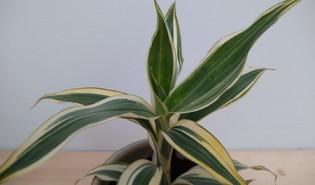 Geluksbamboe (Dracaena sanderiana)