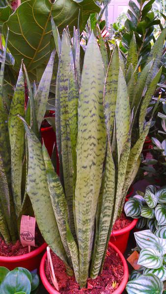 Vrouwentongen (Dracaena trifasciata 'Zeylanica')