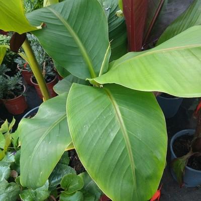 Japanse banaan (Musa basjoo)