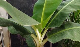 Dwergbanaan (Musa acuminata 'Dwarf Cavendish')