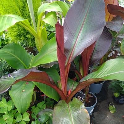 Ethiopische banaan (Ensete ventricosum 'Maurelli')