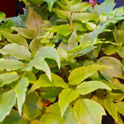 IJzervaren (Cyrtomium fortunei)