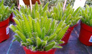 Pitaya (Selenicereus undatus)