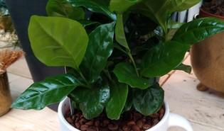 Koffie (Coffea arabica)