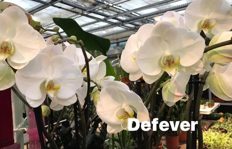 Vlinderorchidee (Phalaenopsis)