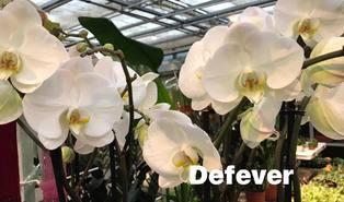 Vlinderorchidee (Phalaenopsis spp.)