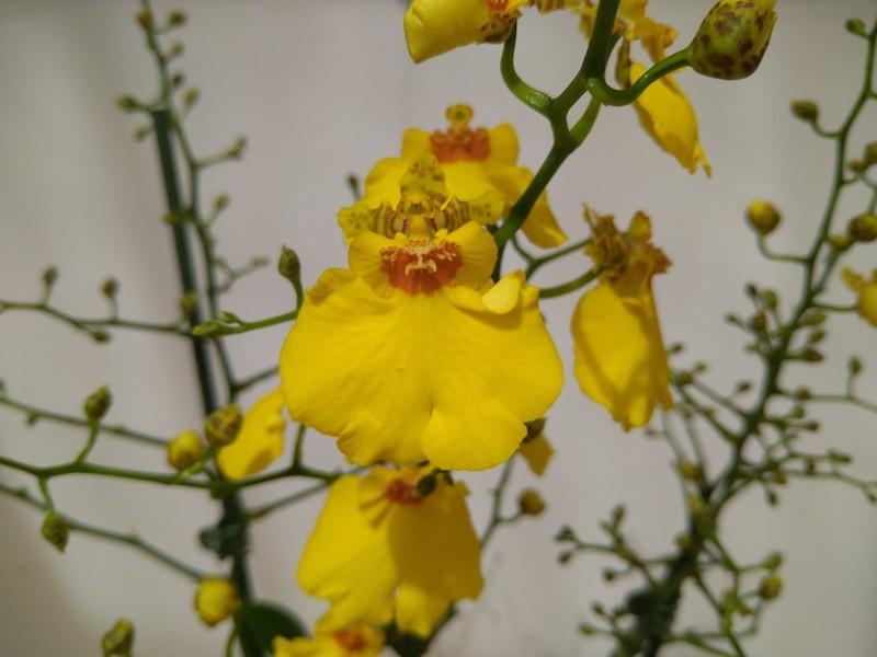 Tijgerorchidee (Oncidium spp.)