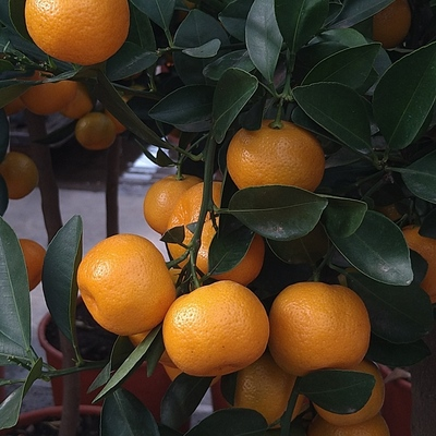 Calamondin (Citrus × microcarpa)