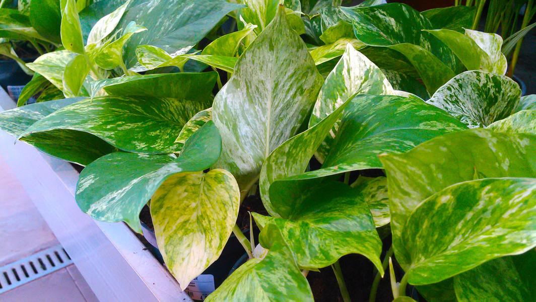 Drakenklimop (Epipremnum aureum)