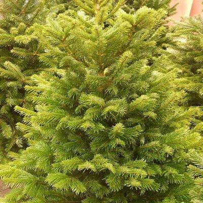 Nordmann-kerstboom gezaagd 1m50-1m75