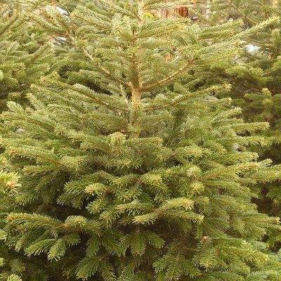 Nordmann-kerstboom gezaagd 2m-2m50