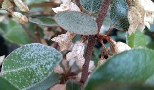 Olijfwilg (Elaeagnus × submacrophylla)