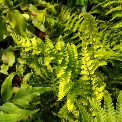 Geschubde mannetjesvaren (Dryopteris affinis)