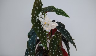 Stippelbegonia (Begonia maculata)