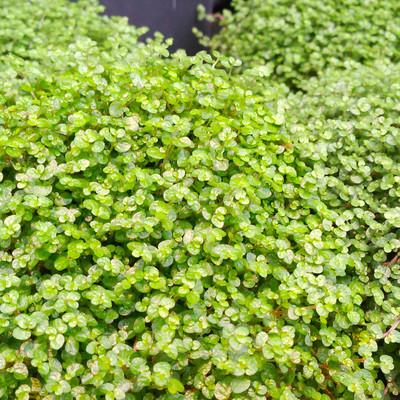 Slaapkamergeluk (Soleirolia soleirolii)