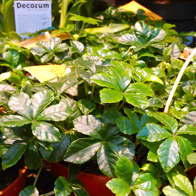 Suikerdruifje (Clematicissus striata)