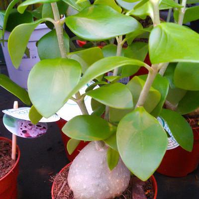 Mierenplant (Hydnophytum moseleyanum)