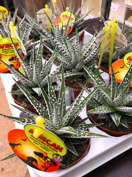 Haworthiopsis attenuata 'Super Zebra'