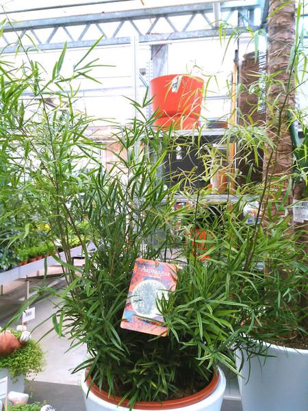 Sierasperge (Asparagus falcatus)