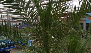Canarische dadelpalm (Phoenix canariensis)